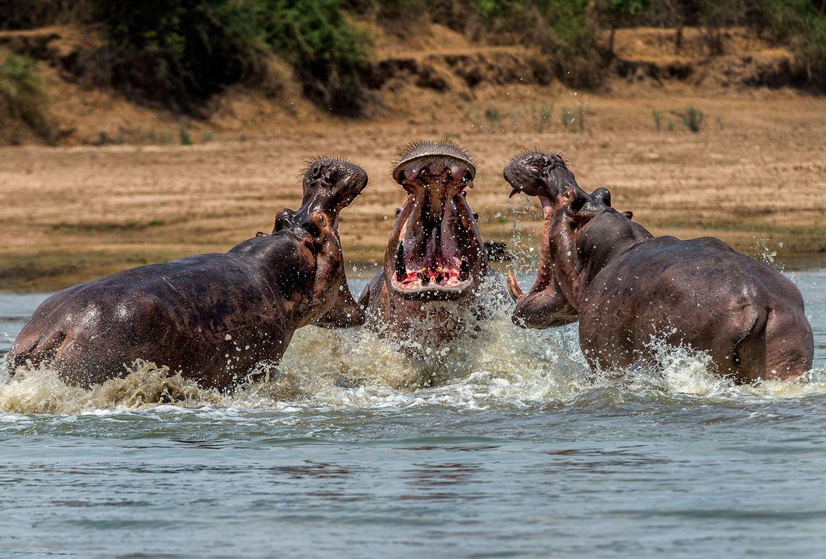 Hippopotamuses clash in Zambia.