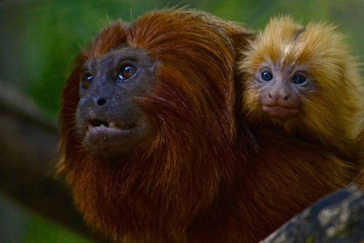 A golden lion tamarin and her baby are seen in Brazil's Atlantic Forest.