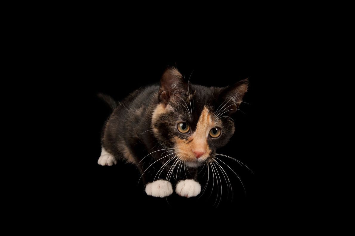 A calico cat named Cassie at the Capital Humane Society in Lincoln, Nebraska.