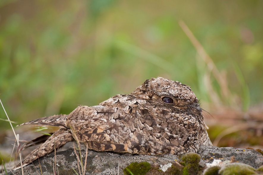 A common poorwill blends into its surroundings in British Columbia, Canada.