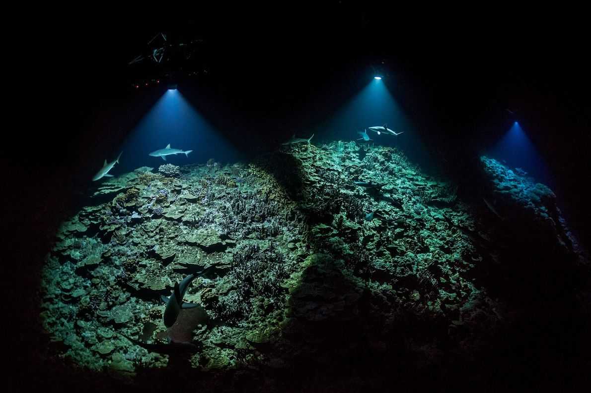 Divers hold lights to illuminate sharks as they hunt for groupers hiding in the reef.