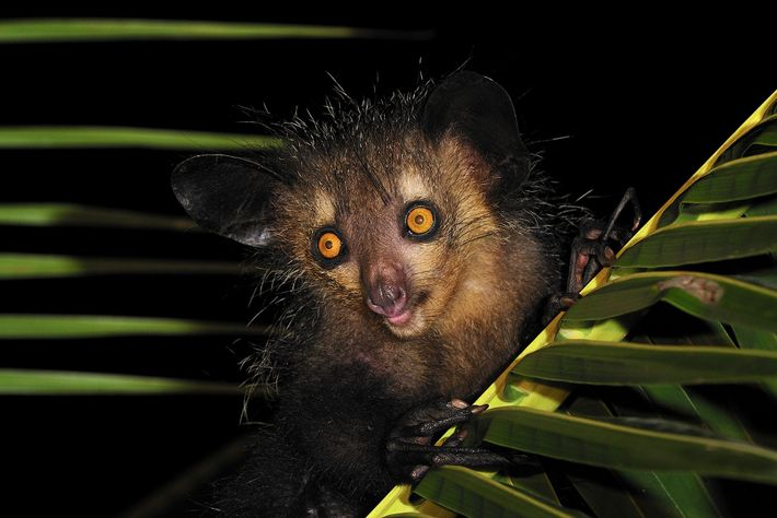 Aye-ayes, like this one in Mananara, eastern Madagascar, once had a much larger cousin.
