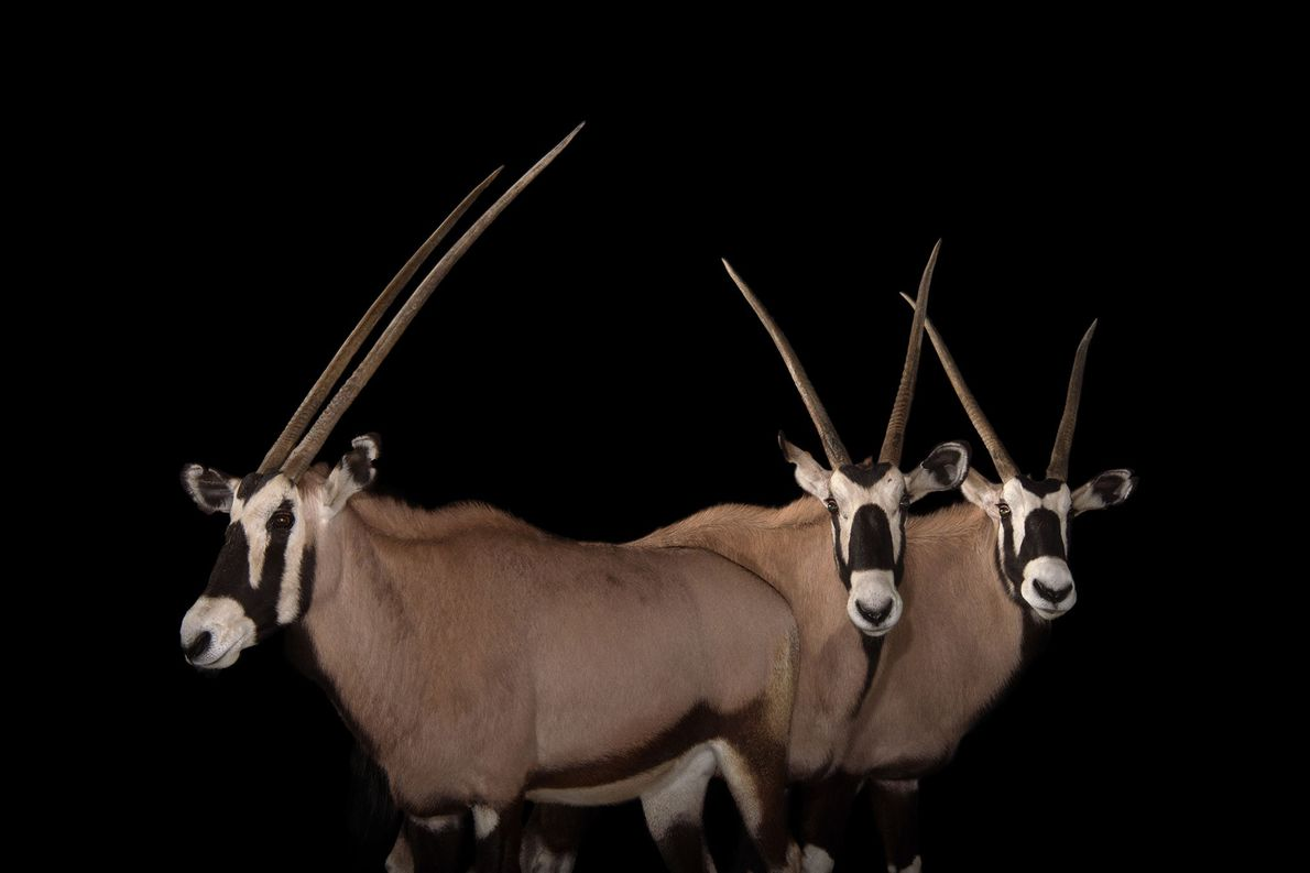 The spectacular spiralled horns sported by the South African oryx make them a target for trophy ...