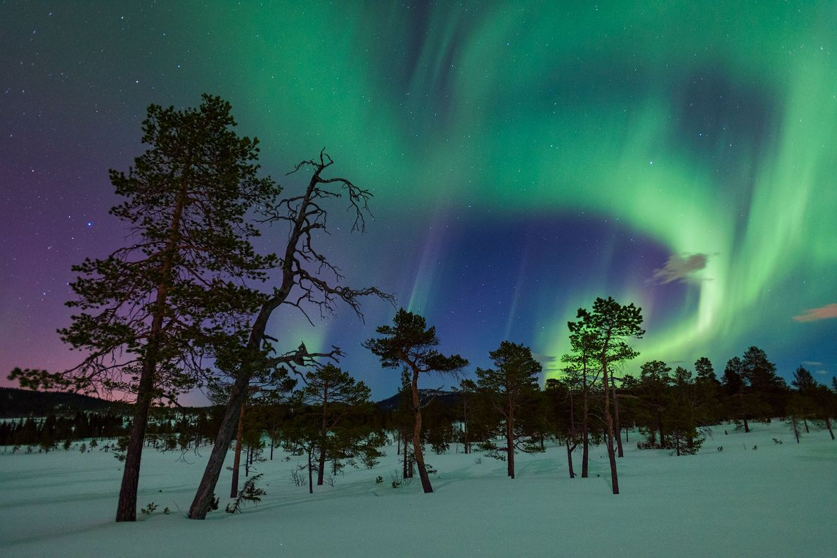 Scotch pines stand against a sky filled with auroras in Gjenvollhytta, Norway.