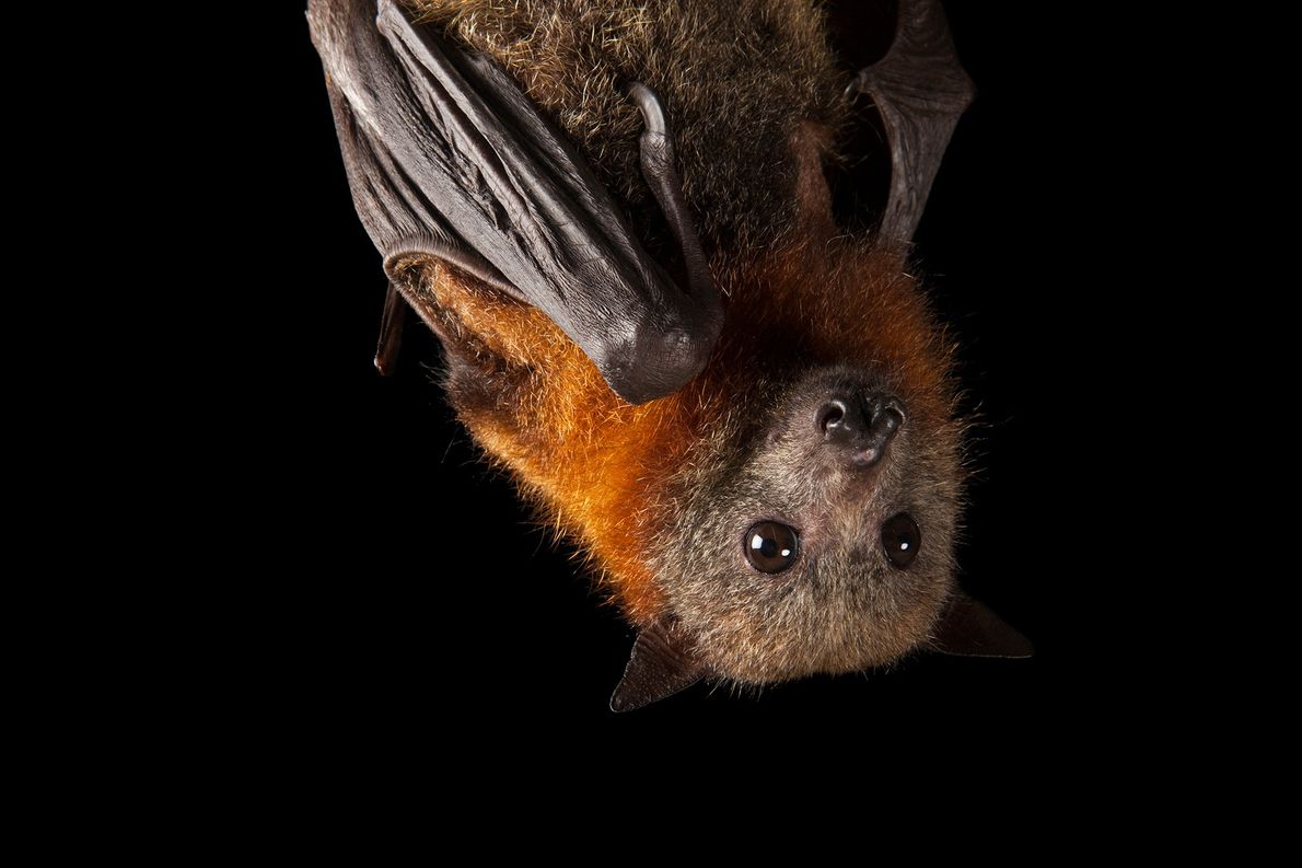 Grey-headed flying foxes, like this one hanging upside down, are primarily suffering as a result of ...