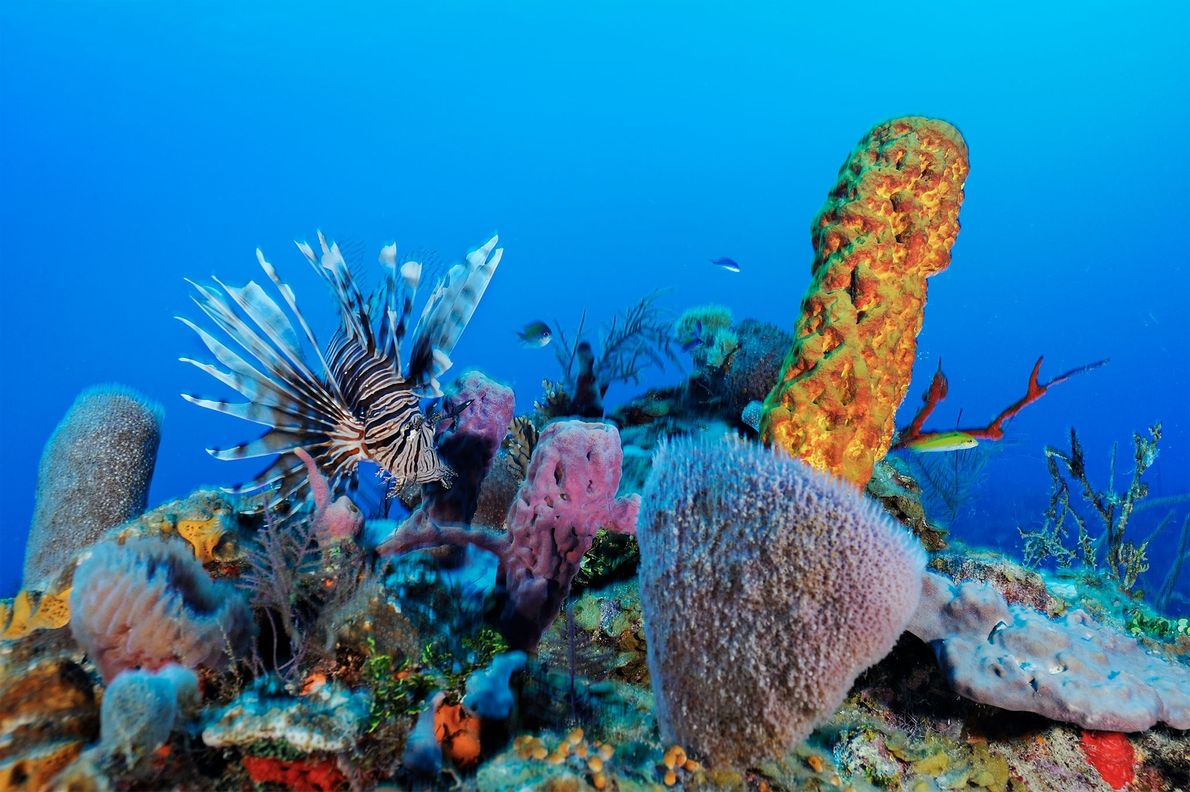Lionfish are invasive recent invaders that are causing damage along Belize's reefs.