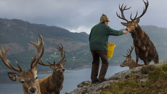 Colin Murdoch, who manages the deer population at Reraig Forest, near Loch Carron, feeds stags to ...
