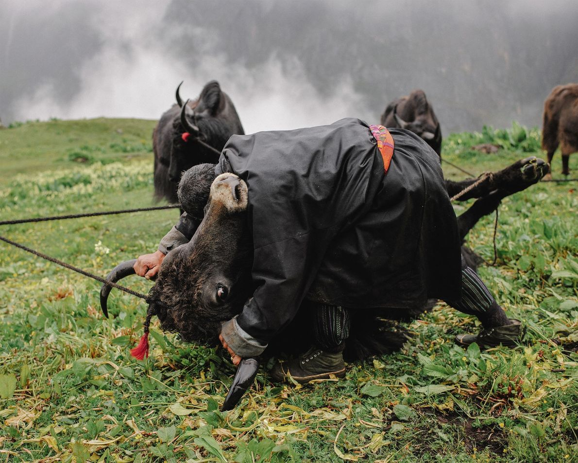 Fifty-year-old nomadic yak herder, Tshering, performs a monthly ritual in which he pushes male yaks to ...