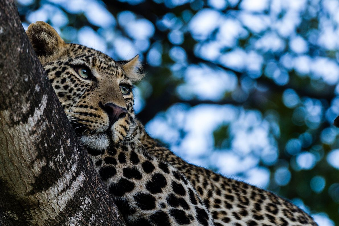Leopards—like this animal in Kenya—are excellent tree climbers, and often will eat their meals aloft.