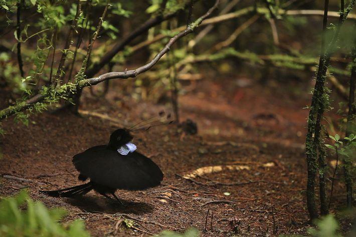 A male Wahnes's parotia bird of paradise performs a ballerina display.