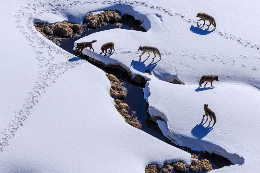 A wolf pack prowls Pelican Valley in Yellowstone Natonal Park.