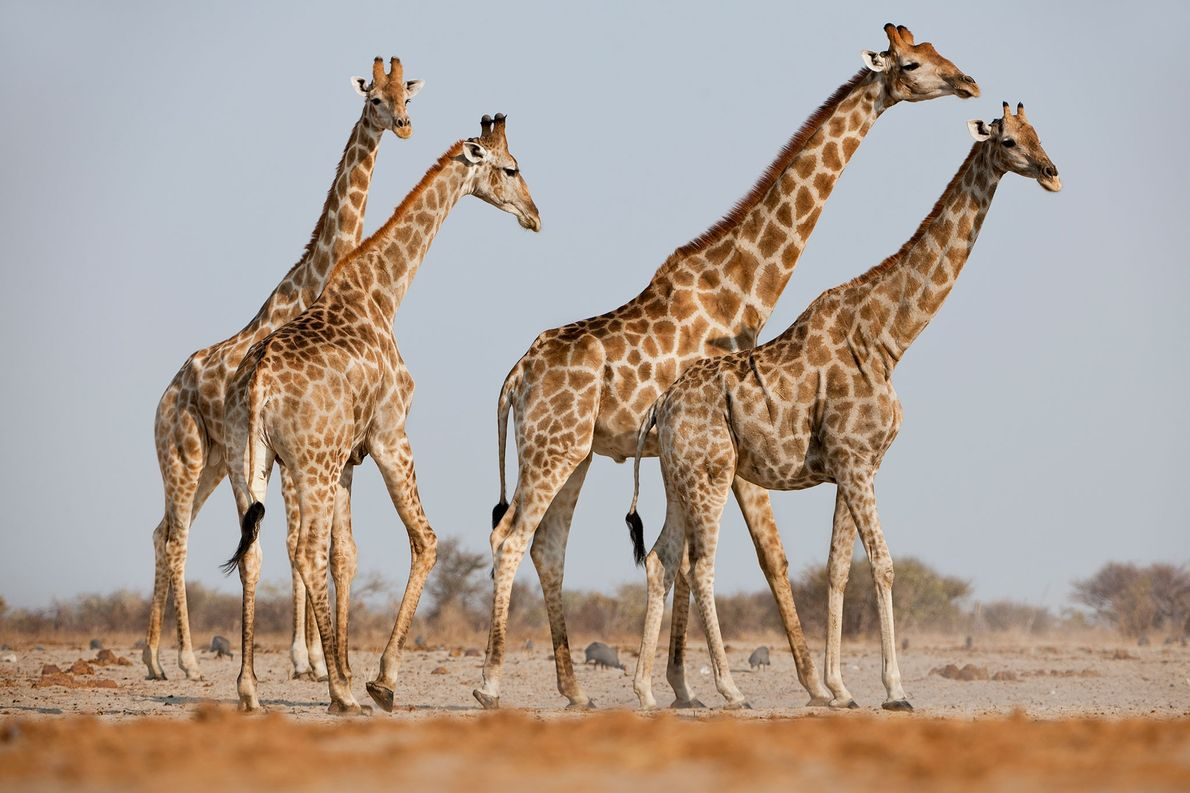 Male giraffes pursuing a female in estrus at Etosha National Park, Namibia.