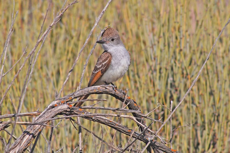 The study included analysis of the ash-throated flycatcher.