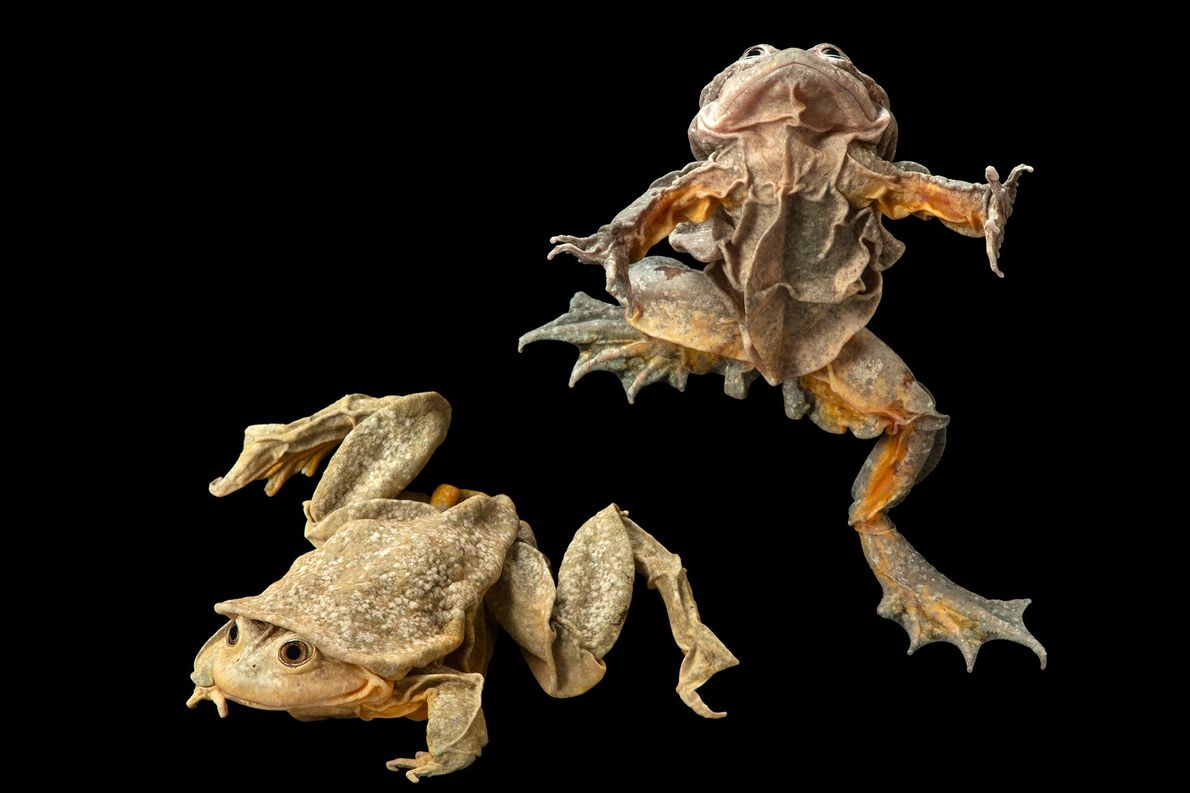 Titicaca water frogs (Telmatobius culeus) at Museo de Historia Natural Alcide d'Orbigny in Bolivia.