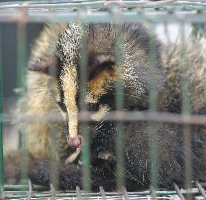 A caged civet is for sale at a market in southern China in 2003, at the ...
