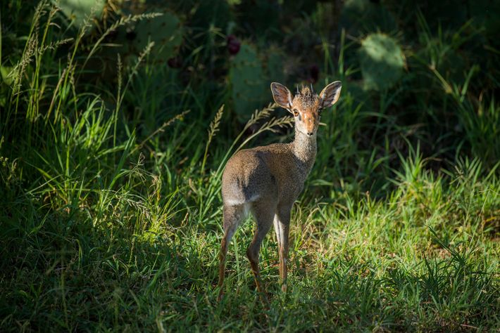 At Loisaba Conservancy, tiny antelopes called dik-diks are in danger of being killed by poachers, as ...