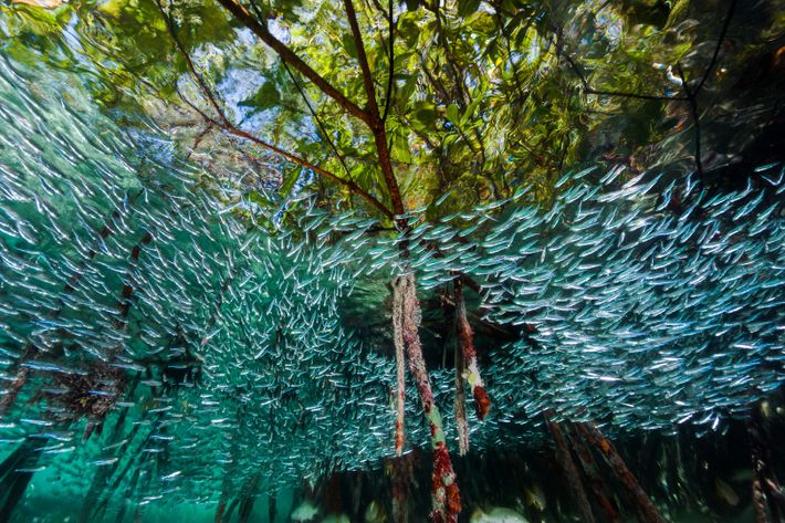 Silversides—a small species of silver-coloured fish—swirl through a mangrove forest.