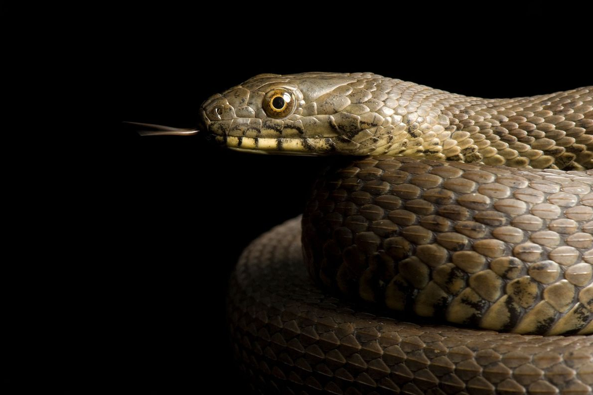 Narrow-headed garter snake, Thamnophis rufipunctatus, at the Phoenix Zoo.