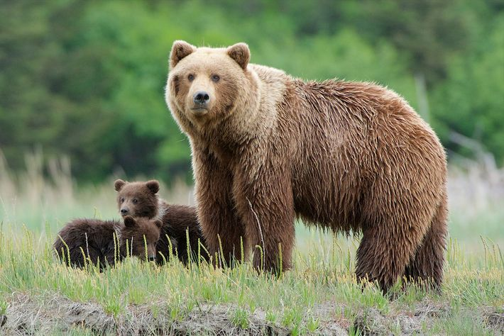 A mother grizzly keeps watch at Lake Clark National Park in Alaska. The predator is locally ...