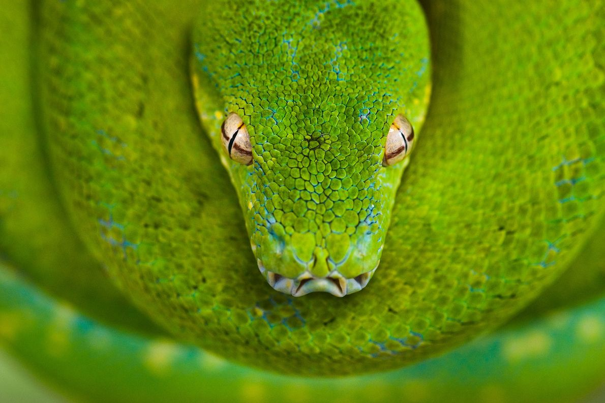 A green tree python sits coiled at the Australian Reptile Park in New South Wales, Australia.