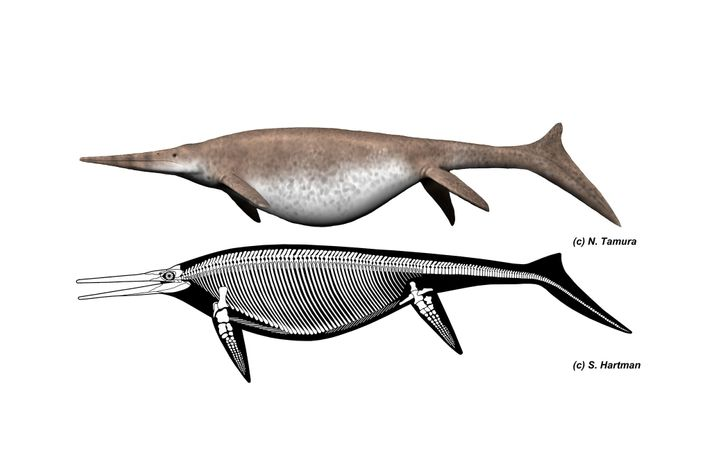 Reconstructions of the giant ichthyosaur Shonisaurus show its skeletal structure and what it might have looked ...