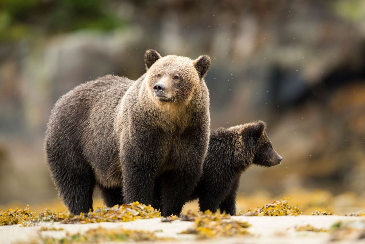 A grizzly bear mother stands next to her cub on an estuary at low tide. Grizzlies, ...