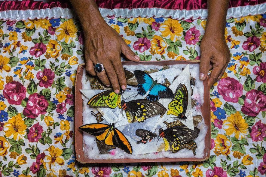 A butterfly catcher on Bacan island, Indonesia, sorts his specimens, which he'll sell in Bali.
