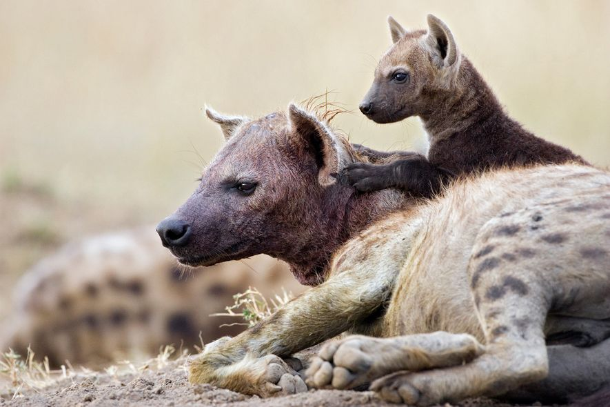 An 11-week-old spotted hyena cub sits on its mother in Masai Mara National Reserve. Due to hyenas' ability to crush and digest bones, their milk is very high in calcium.