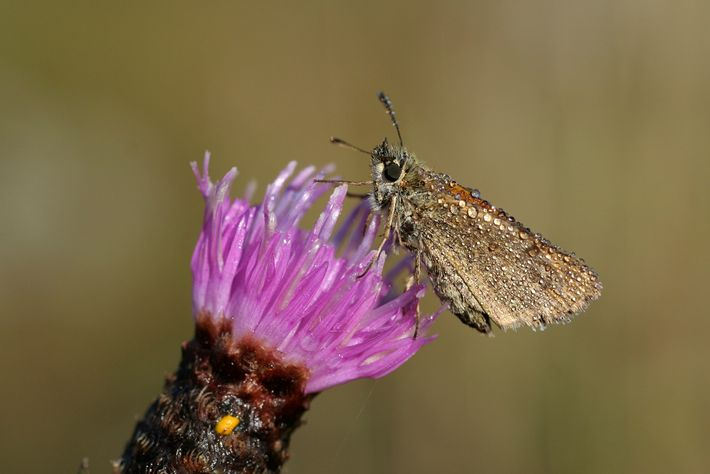 Butterflies like this European skipper are important for pollinating flowering crops and other plants.