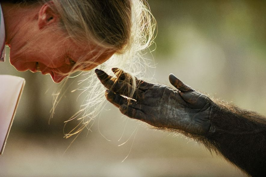 During a trip to raise awareness for chimps in captivity, Jane Goodall interacts with a chimp from the Brazzaville Zoo in the Republic of the Congo.
