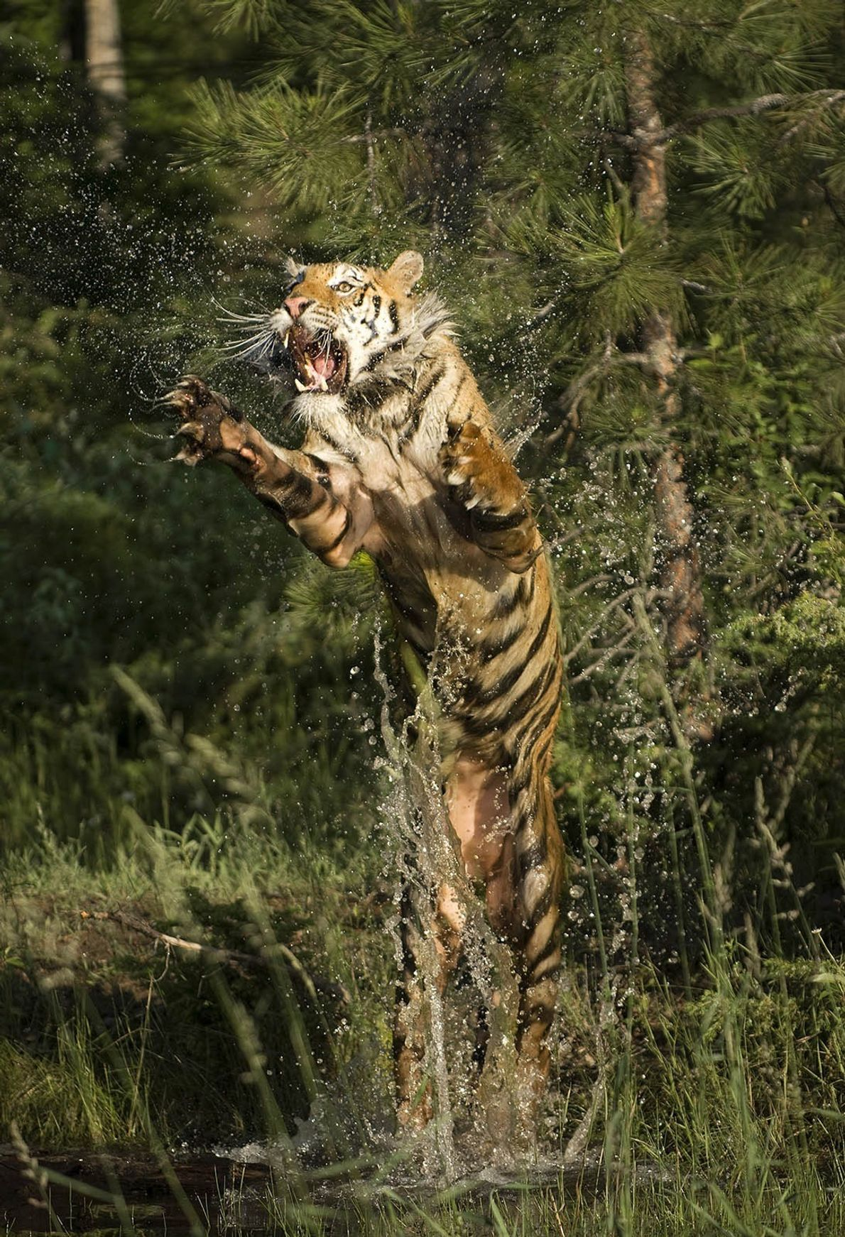 A Siberian tiger leaps from the water.