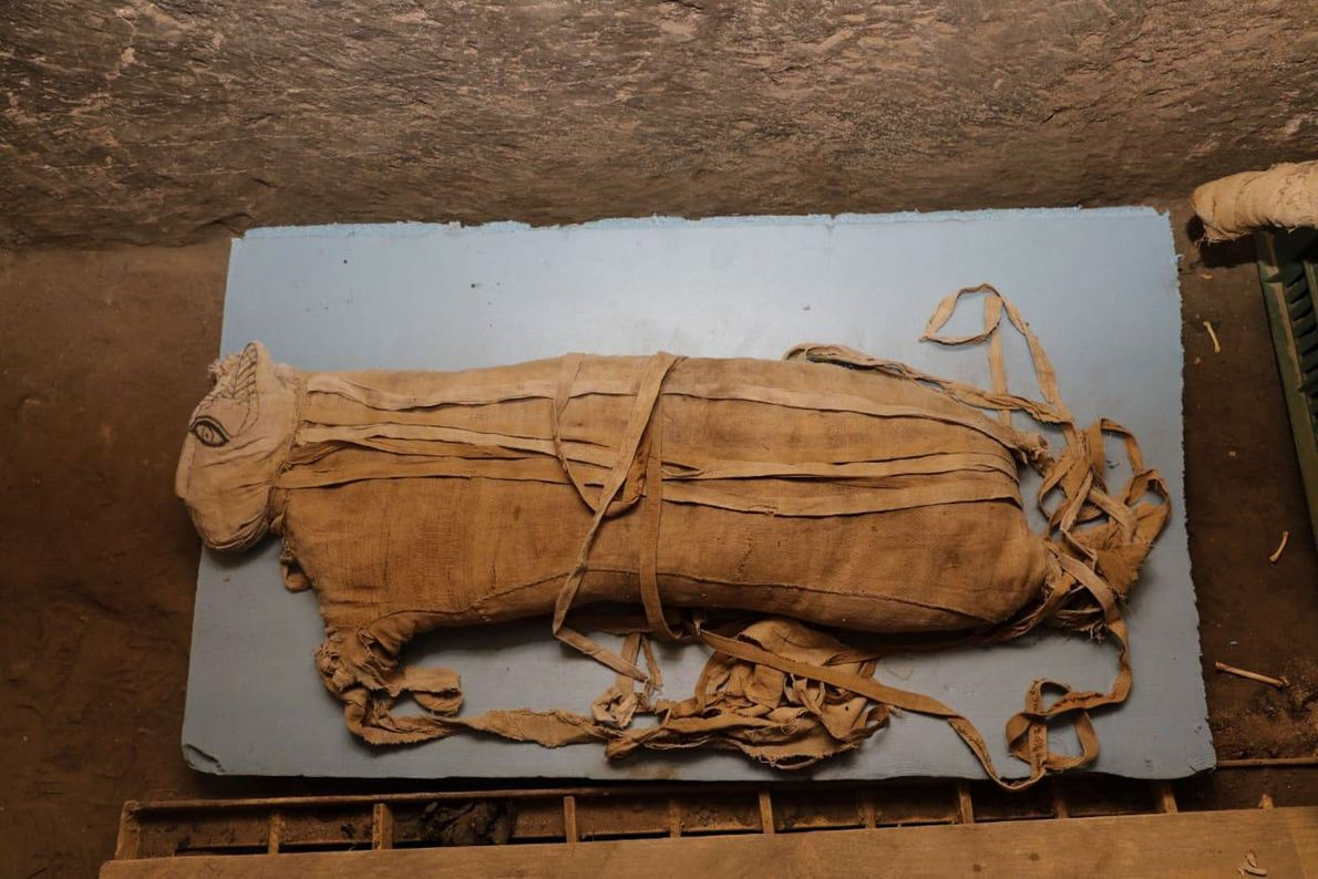 This lion cub was about eight months old when it was mummified. Until today's announcement, only ...