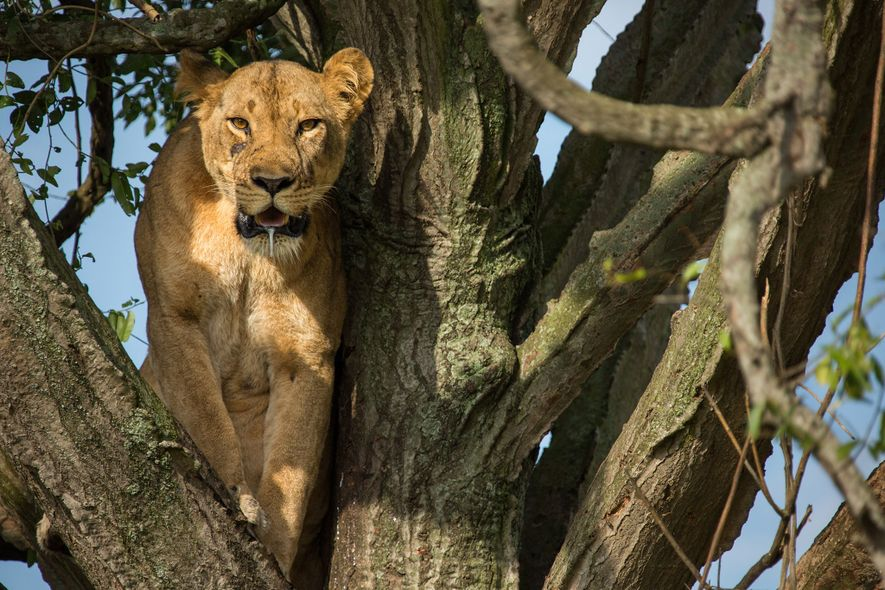 One of the lionesses looks out from her perch. Because most female lions have a litter ...