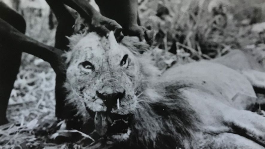 The 'man-eater of Darajani,' a lion that killed a Kenyan hunter in 1965, with a porcupine ...