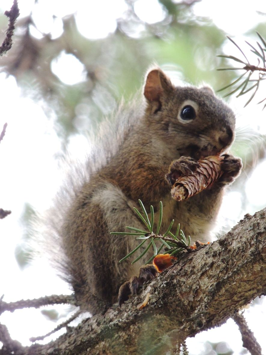 Red squirrels appear to be able to tell in advance when white pine trees are going ...