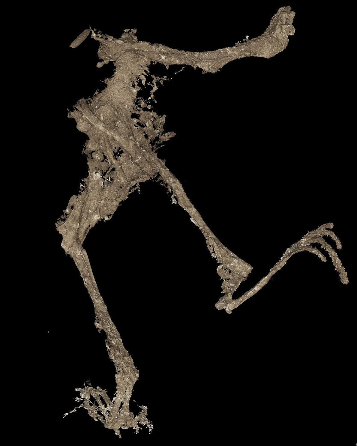 A 3-D scan captues the frog's body in greater detail.