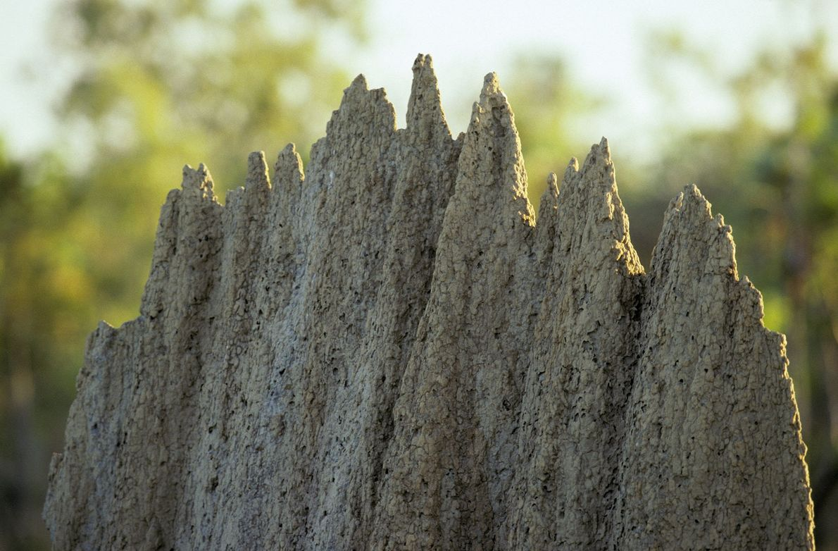 Termites build large mounds over their underground colonies to help provide ventilation and climate control.