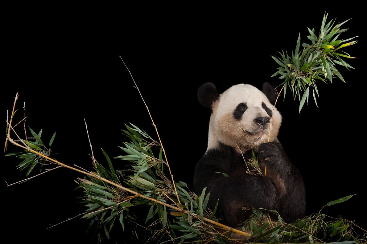 Giant panda numbers increased enough for the IUCN Red List to downlist it from endangered to ...