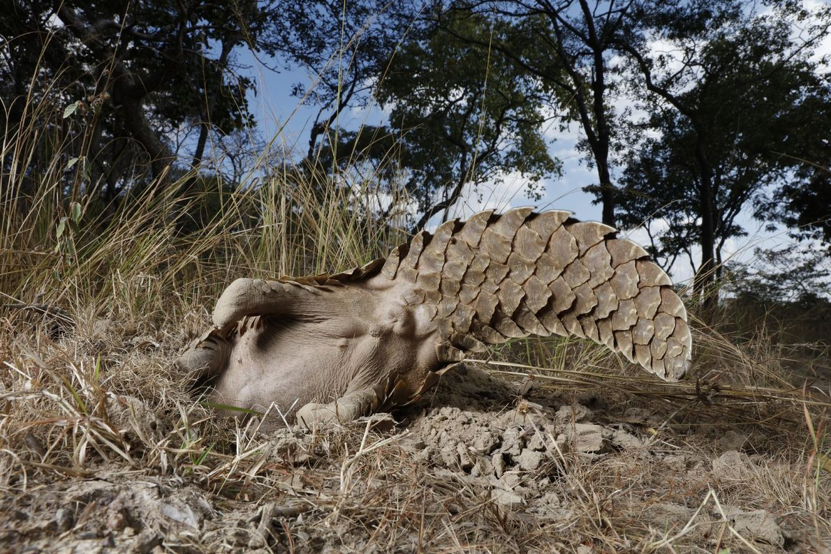 A pangolin at a Tikki Hywood Trust property waves his tail in the air as he ...