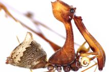 This new species of pelican spider, Eriauchenius workmani, is the largest known at about one centimeter ...