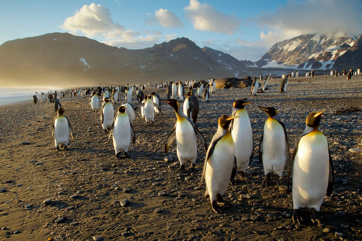A colony of king penguins are pictured in South Georgia, an island in the southern Atlantic ...