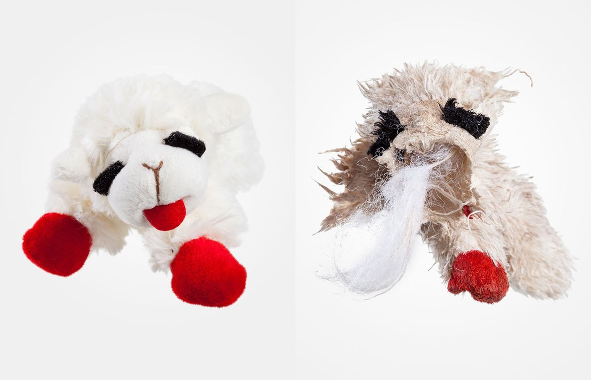 Ollie's focus on his Lamb Chop toy was intense. In a flurry of activity the young ...