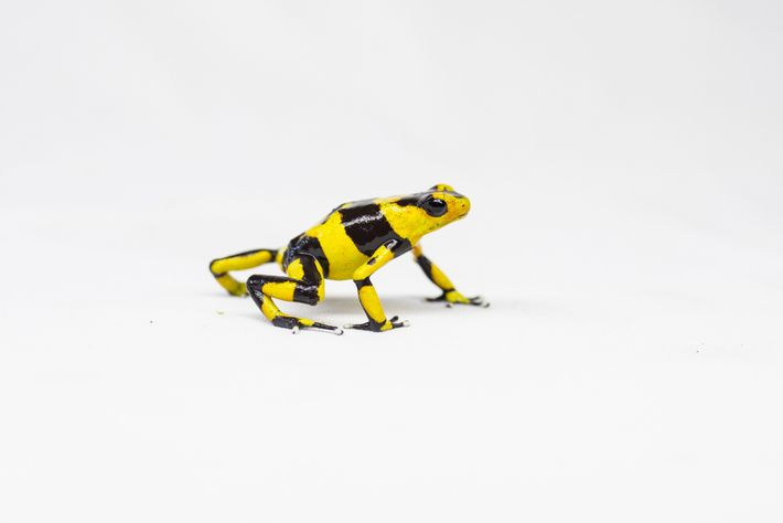 Most collectors consider the Lehmann's poison frog to be the holy grail among poison dart frogs ...