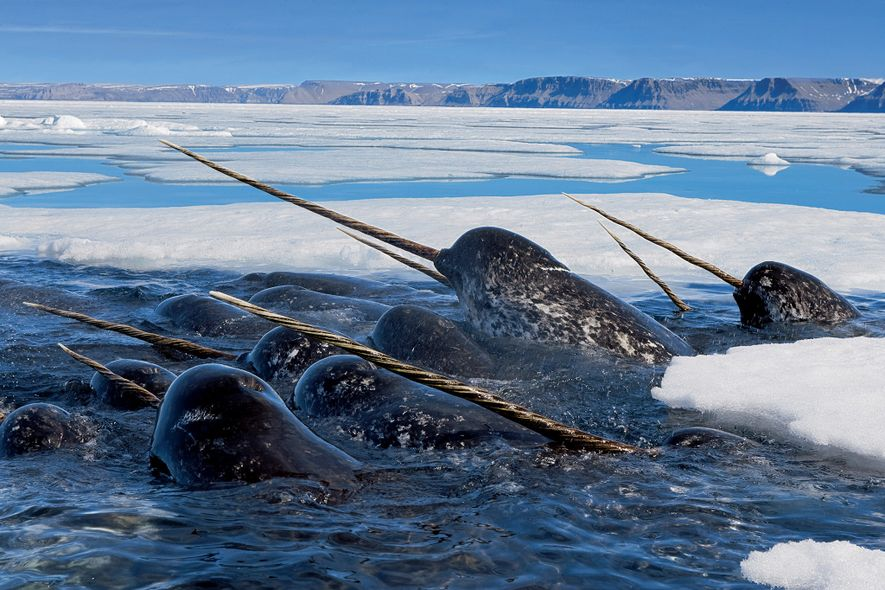 Male narwhals feed on cod in Canada's Lancaster Sound. Like polar bears, these mammals evolved to ...