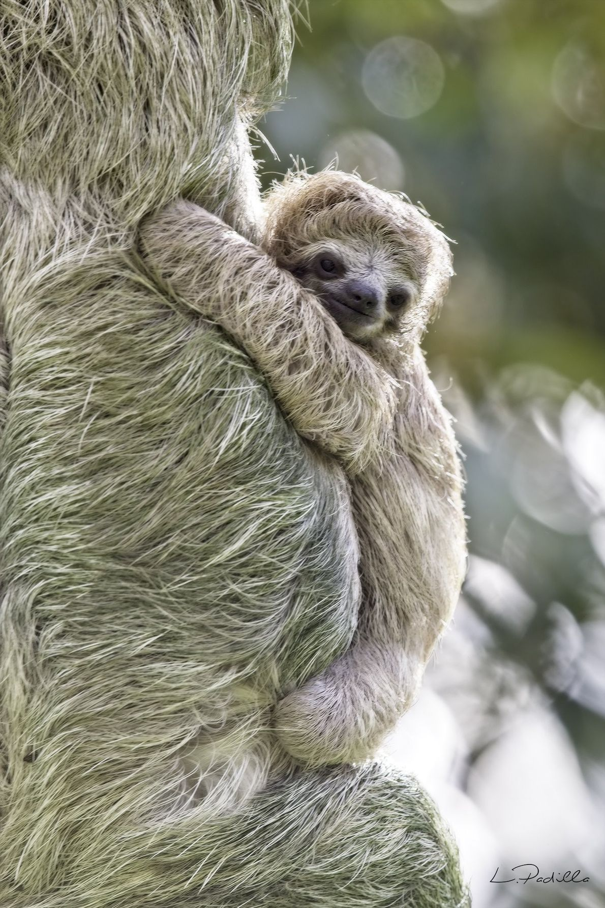 Your Shot photographer Luis Padilla photographed this sloth pair during his trip to Costa Rica.