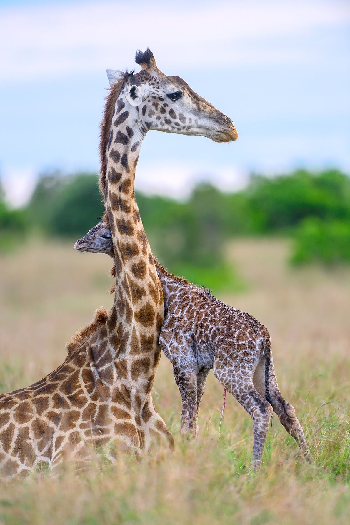 """""""A giraffe calf within minutes of birth trying to get close to its mother,"""" writes Your ..."""