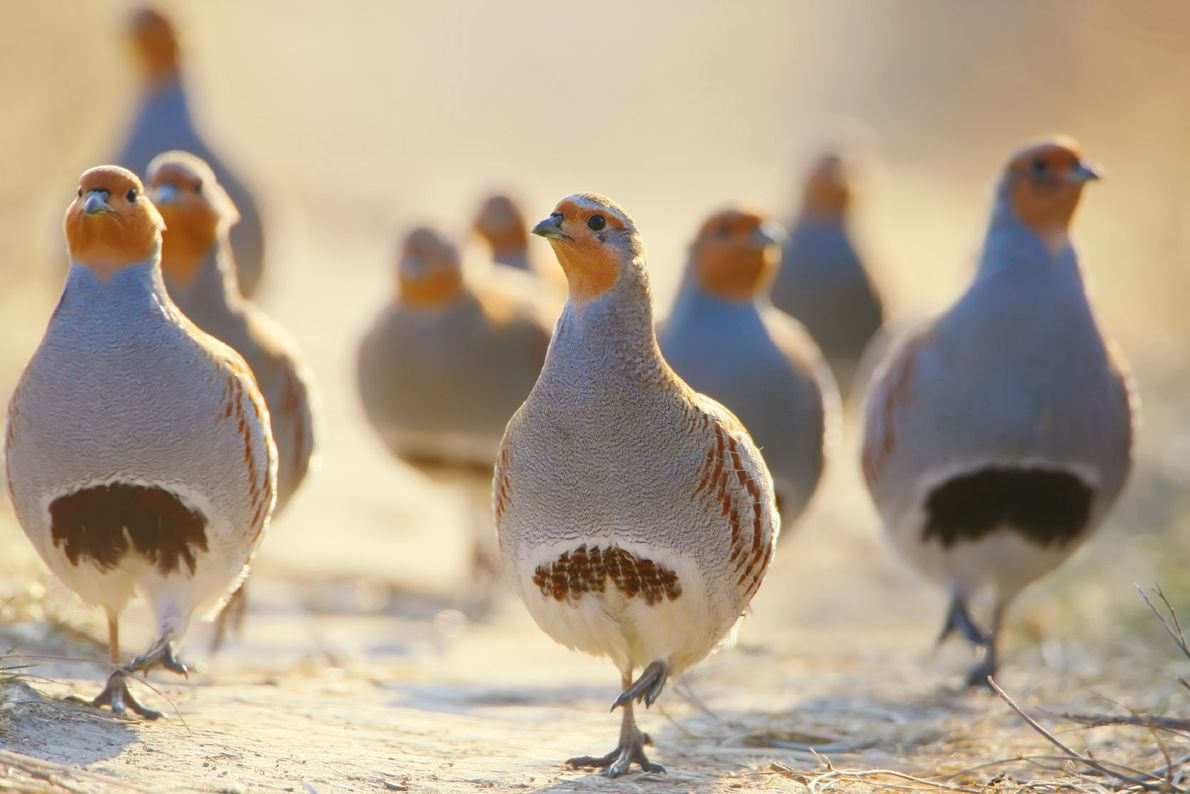 Your Shot photographer Vladimir Kucherenko photographed a flock of gray partridges in golden sunlight.