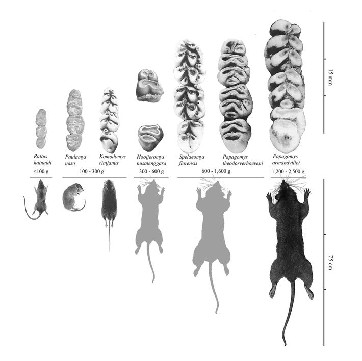 Bones from the Liang Bua cave revealed that hobbits shared the cave with rats from five ...