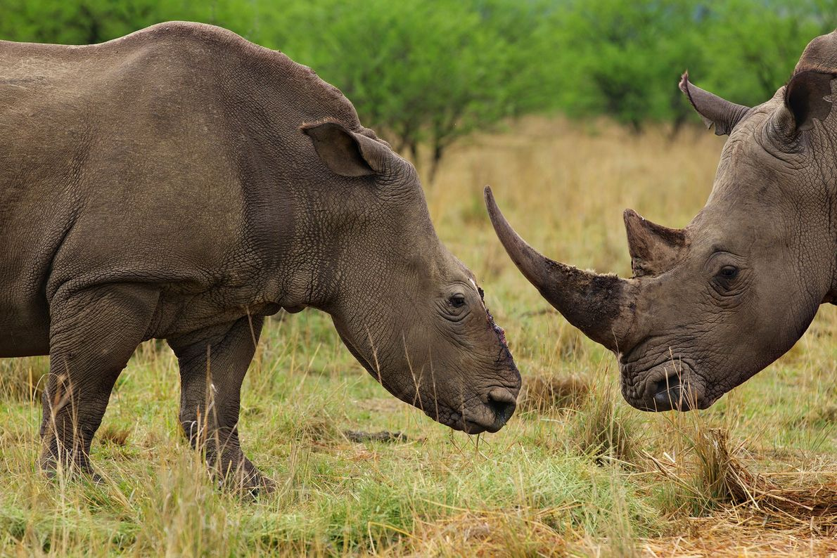 A white rhino cow (left) grazes with a bull that has become her companion after a ...