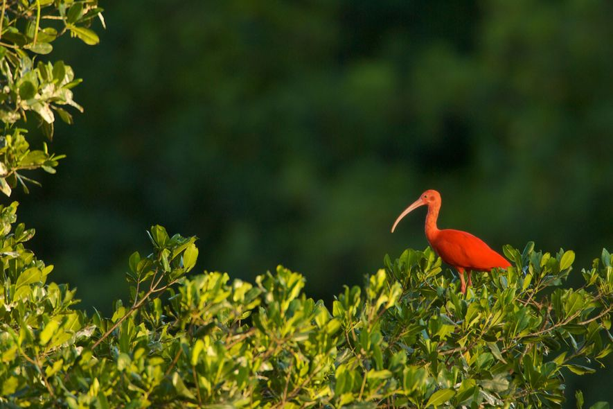 Weighing no more than three pounds, a single scarlet ibis doesn't put much meat in the ...